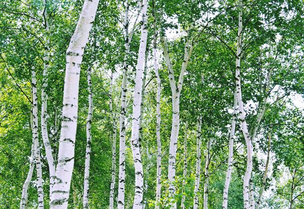 白樺樹液は体内の活性酸素を除去し美肌づくりや健康維持に寄与します
